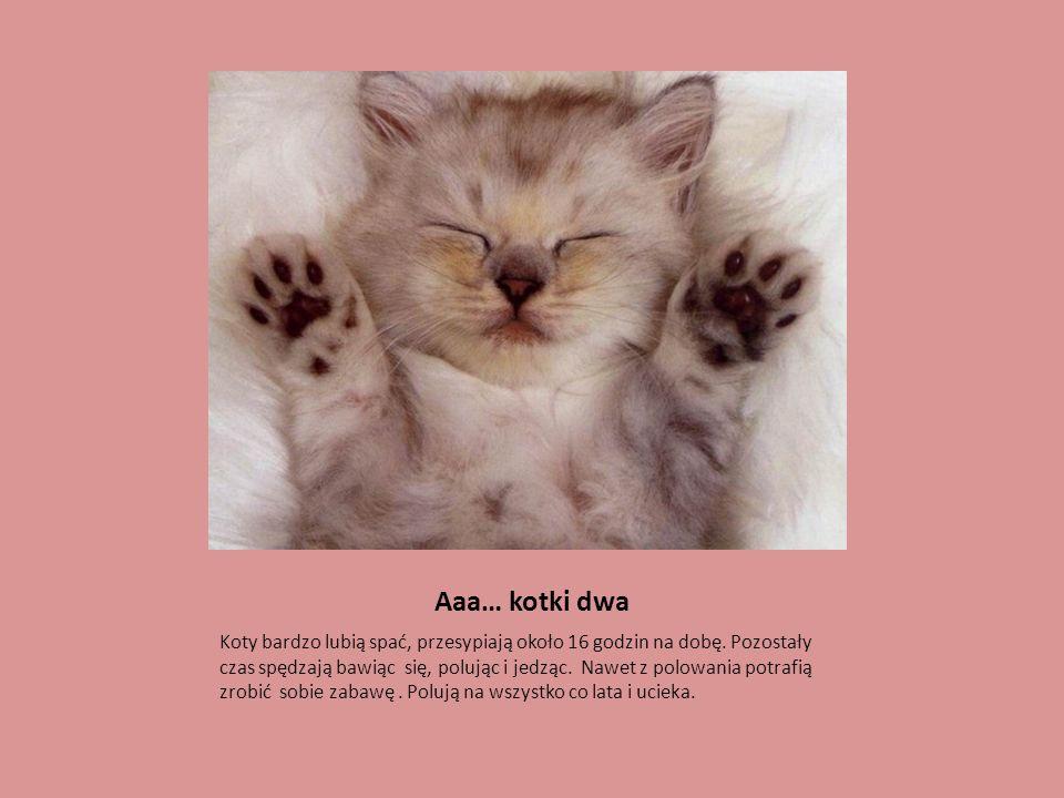 Aaa… kotki dwa Koty bardzo lubią spać, przesypiają około 16 godzin na dobę. Pozostały czas spędzają bawiąc się, polując i jedząc. Nawet z polowania po