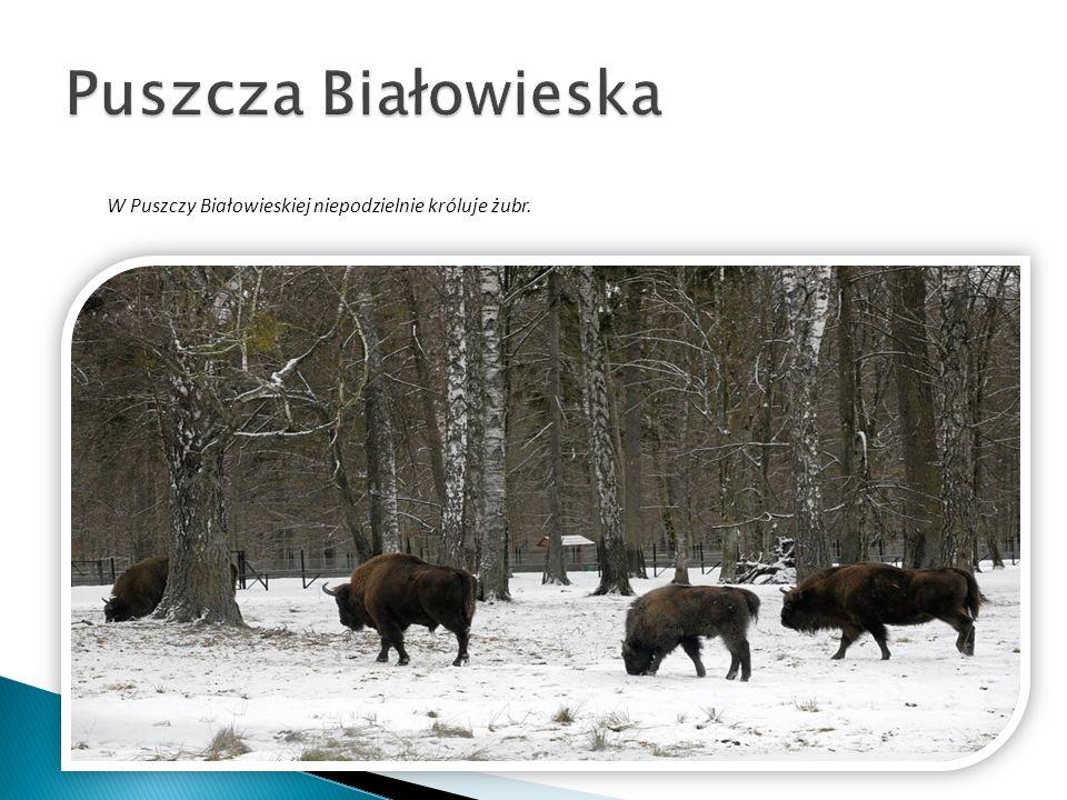 W Puszczy Białowieskiej niepodzielnie króluje żubr.