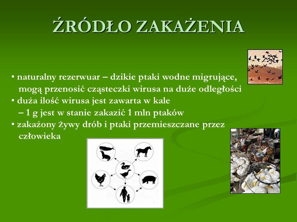 ŹRÓDŁO ZAKAŻENIA naturalny rezerwuar – dzikie ptaki wodne migrujące, mogą przenosić cząsteczki wirusa na duże odległości duża ilość wirusa jest zawarta w kale – 1 g jest w stanie zakazić 1 mln ptaków zakażony Ż ywy drób i ptaki przemieszczane przez człowieka