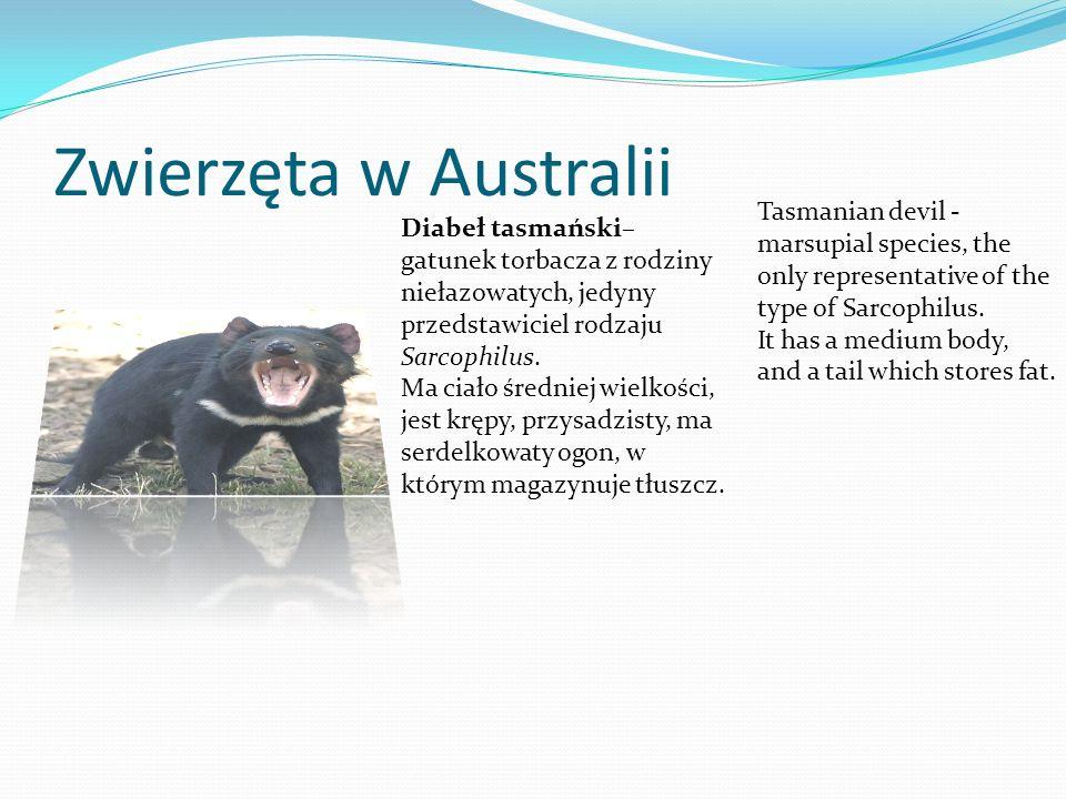 Zwierzęta w Australii Diabeł tasmański– gatunek torbacza z rodziny niełazowatych, jedyny przedstawiciel rodzaju Sarcophilus. Ma ciało średniej wielkoś
