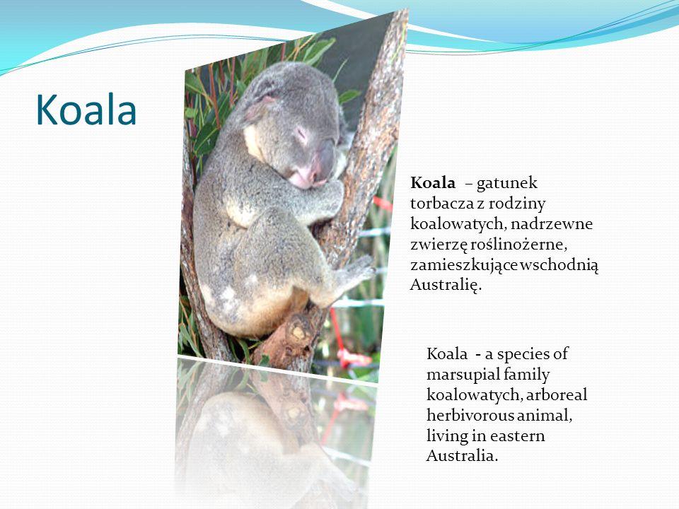 Koala Koala – gatunek torbacza z rodziny koalowatych, nadrzewne zwierzę roślinożerne, zamieszkujące wschodnią Australię. Koala - a species of marsupia