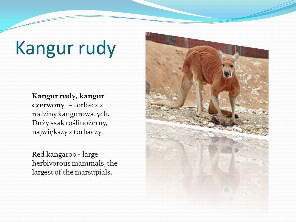 Kangur rudy Kangur rudy, kangur czerwony – torbacz z rodziny kangurowatych. Duży ssak roślinożerny, największy z torbaczy. Red kangaroo - large herbiv
