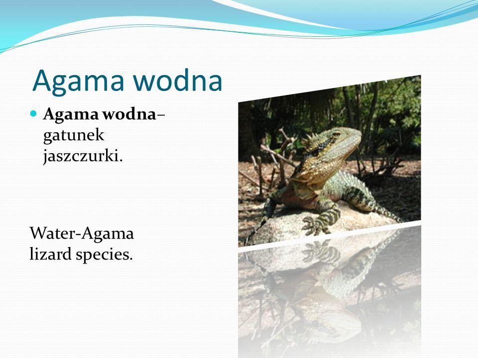 Agama wodna Agama wodna– gatunek jaszczurki. Water-Agama lizard species.