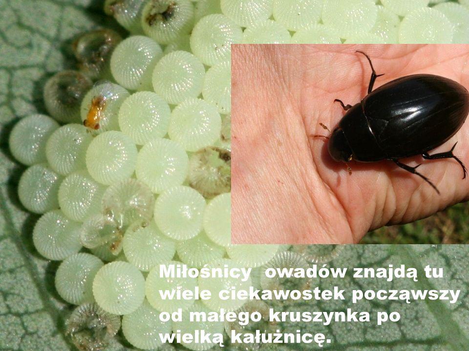 Miłośnicy owadów znajdą tu wiele ciekawostek począwszy od małego kruszynka po wielką kałużnicę.