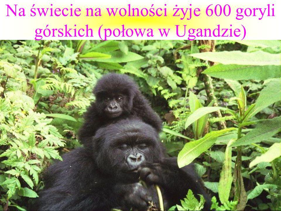 Na świecie na wolności żyje 600 goryli górskich (połowa w Ugandzie)