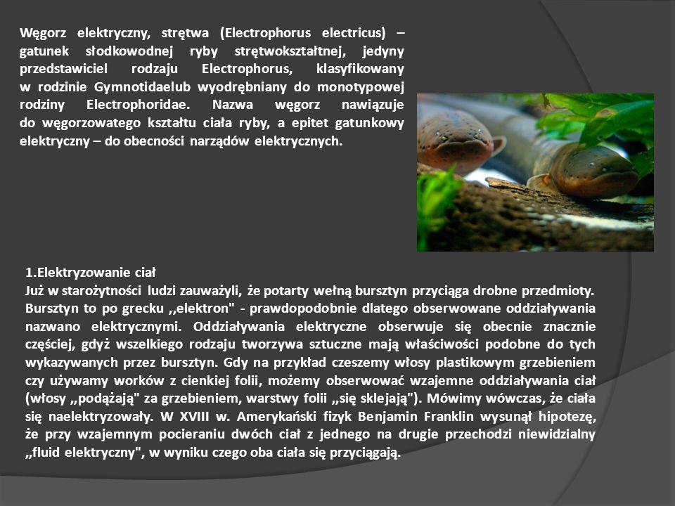 Węgorz elektryczny, strętwa (Electrophorus electricus) – gatunek słodkowodnej ryby strętwokształtnej, jedyny przedstawiciel rodzaju Electrophorus, klasyfikowany w rodzinie Gymnotidaelub wyodrębniany do monotypowej rodziny Electrophoridae.