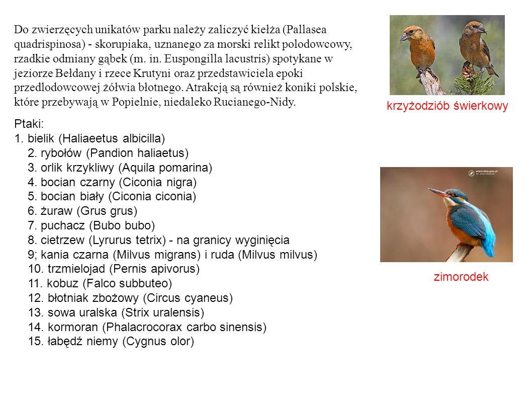krzyżodziób świerkowy zimorodek Do zwierzęcych unikatów parku należy zaliczyć kiełża (Pallasea quadrispinosa) - skorupiaka, uznanego za morski relikt polodowcowy, rzadkie odmiany gąbek (m.