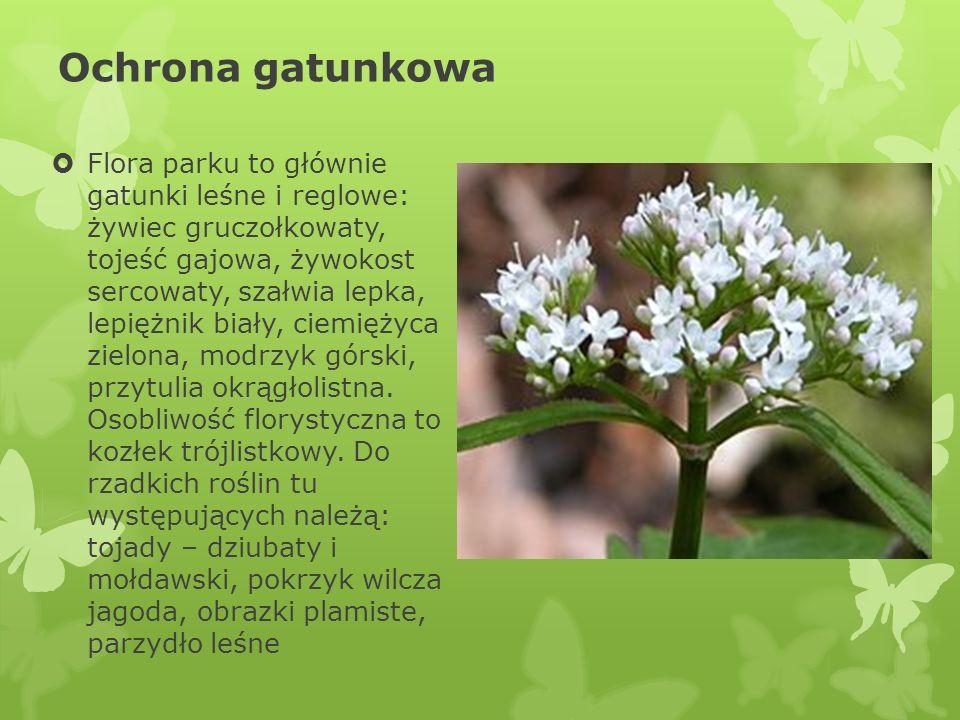 Ochrona gatunkowa Flora parku to głównie gatunki leśne i reglowe: żywiec gruczołkowaty, tojeść gajowa, żywokost sercowaty, szałwia lepka, lepiężnik bi
