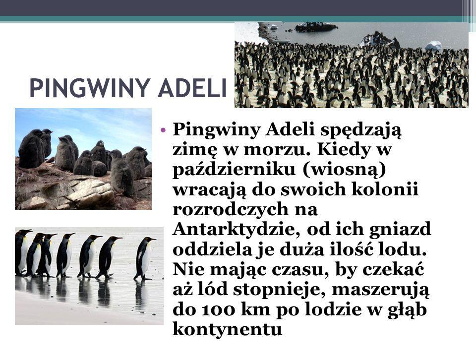 MIESZKAŃCY ANTARKTYDY Pingwin białooki, pingwin Adeli - gatunek dużego, nielotnego ptaka wodnego zamieszkujący wody wokół Antarktydy Adela, na cześć k