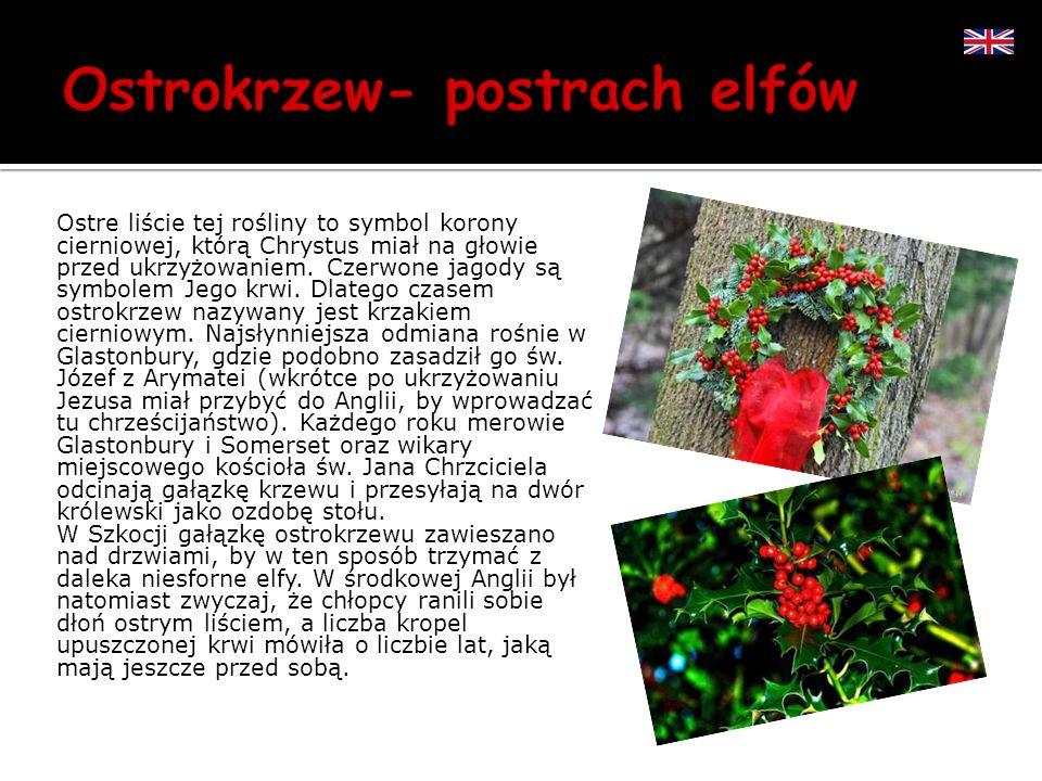 Ostre liście tej rośliny to symbol korony cierniowej, którą Chrystus miał na głowie przed ukrzyżowaniem. Czerwone jagody są symbolem Jego krwi. Dlateg