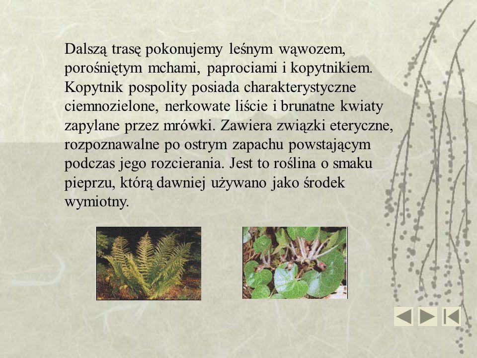 Dalszą trasę pokonujemy leśnym wąwozem, porośniętym mchami, paprociami i kopytnikiem. Kopytnik pospolity posiada charakterystyczne ciemnozielone, nerk