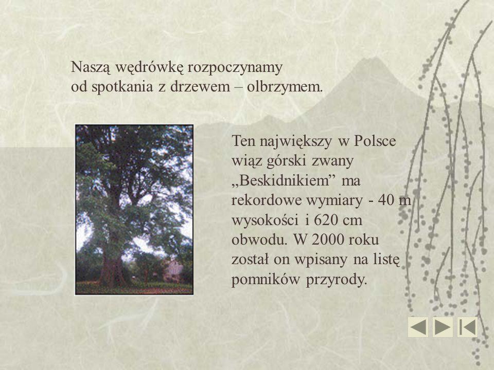 Ten największy w Polsce wiąz górski zwany Beskidnikiem ma rekordowe wymiary - 40 m wysokości i 620 cm obwodu. W 2000 roku został on wpisany na listę p