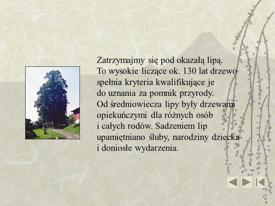 Zatrzymajmy się pod okazałą lipą. To wysokie liczące ok. 130 lat drzewo spełnia kryteria kwalifikujące je do uznania za pomnik przyrody. Od średniowie