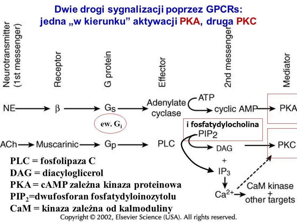 PLC = fosfolipaza C DAG = diacyloglicerol PKA = cAMP zależna kinaza proteinowa PIP 2 =dwufosforan fosfatydyloinozytolu CaM = kinaza zależna od kalmodu