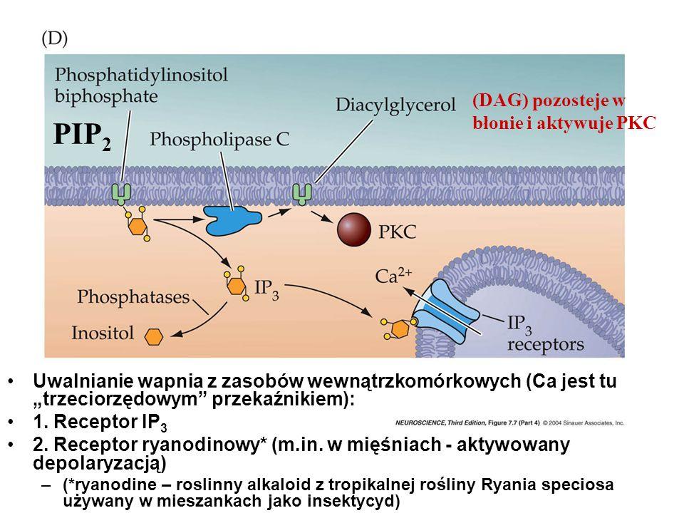 Uwalnianie wapnia z zasobów wewnątrzkomórkowych (Ca jest tu trzeciorzędowym przekaźnikiem): 1. Receptor IP 3 2. Receptor ryanodinowy* (m.in. w mięśnia