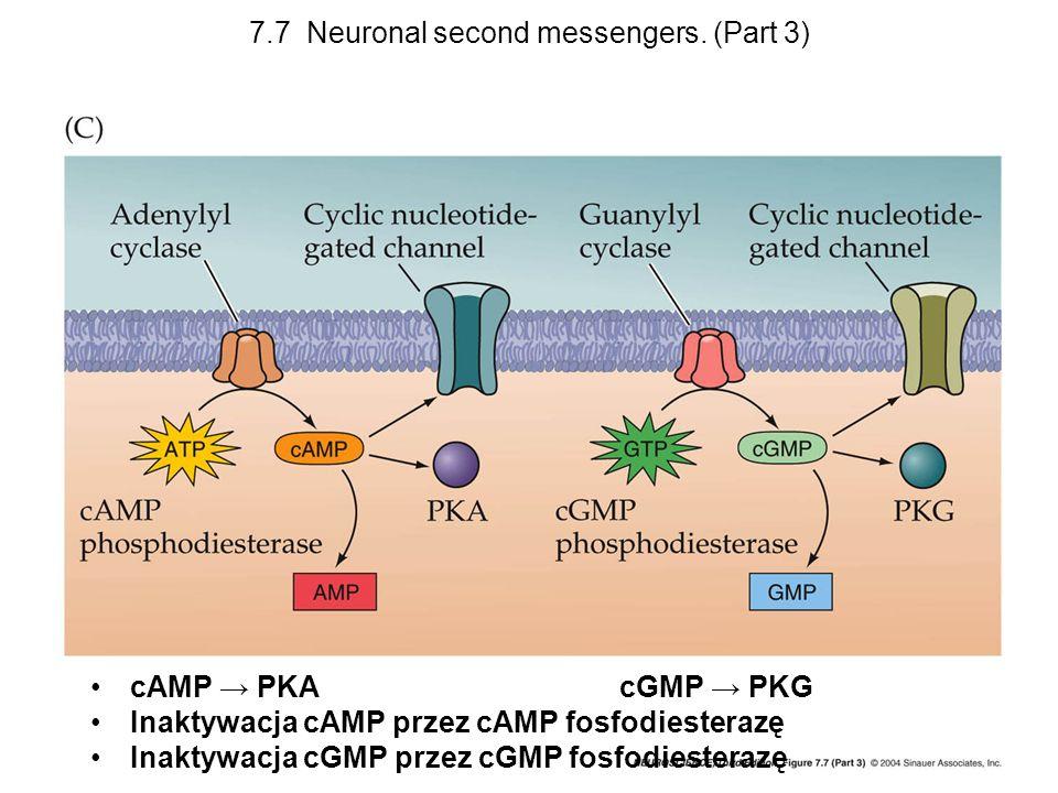 7.7 Neuronal second messengers. (Part 3) cAMP PKA cGMP PKG Inaktywacja cAMP przez cAMP fosfodiesterazę Inaktywacja cGMP przez cGMP fosfodiesterazę