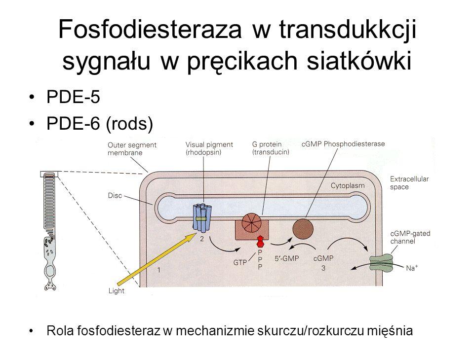 Fosfodiesteraza w transdukkcji sygnału w pręcikach siatkówki PDE-5 PDE-6 (rods) Rola fosfodiesteraz w mechanizmie skurczu/rozkurczu mięśnia
