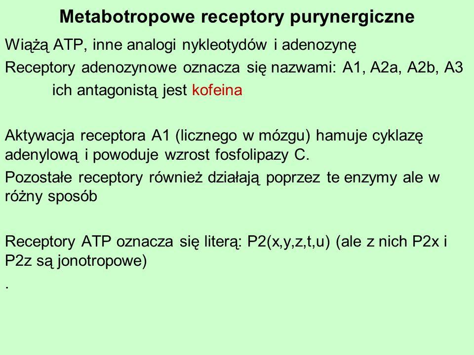 Metabotropowe receptory purynergiczne Wiążą ATP, inne analogi nykleotydów i adenozynę Receptory adenozynowe oznacza się nazwami: A1, A2a, A2b, A3 ich