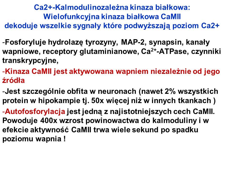 Ca2+-Kalmodulinozależna kinaza białkowa: Wielofunkcyjna kinaza białkowa CaMII dekoduje wszelkie sygnały które podwyższają poziom Ca2+ -Fosforyluje hyd