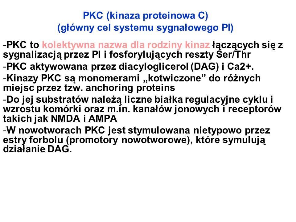 PKC (kinaza proteinowa C) (główny cel systemu sygnałowego PI) -PKC to kolektywna nazwa dla rodziny kinaz łączących się z sygnalizacją przez PI i fosfo