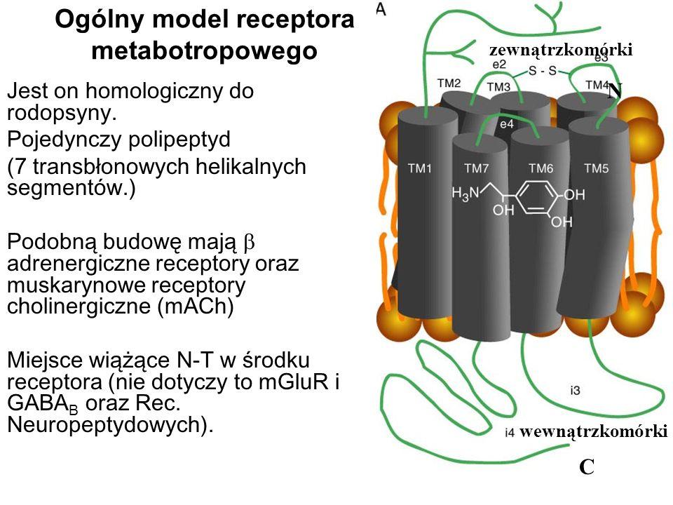Ogólny model receptora metabotropowego Jest on homologiczny do rodopsyny. Pojedynczy polipeptyd (7 transbłonowych helikalnych segmentów.) Podobną budo