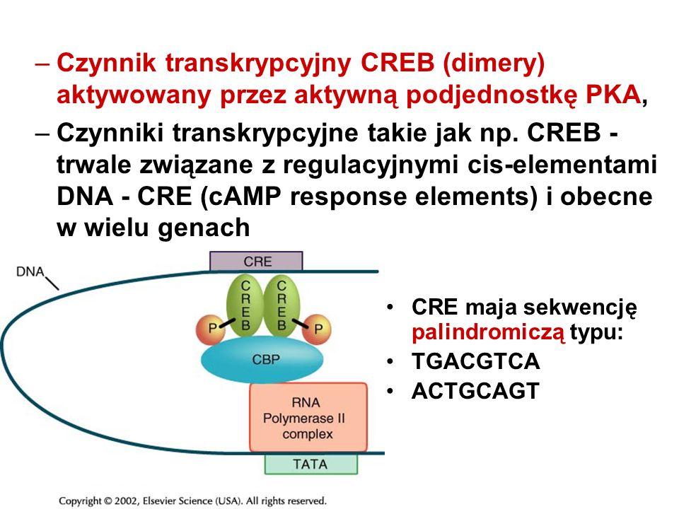–Czynnik transkrypcyjny CREB (dimery) aktywowany przez aktywną podjednostkę PKA, –Czynniki transkrypcyjne takie jak np. CREB - trwale związane z regul