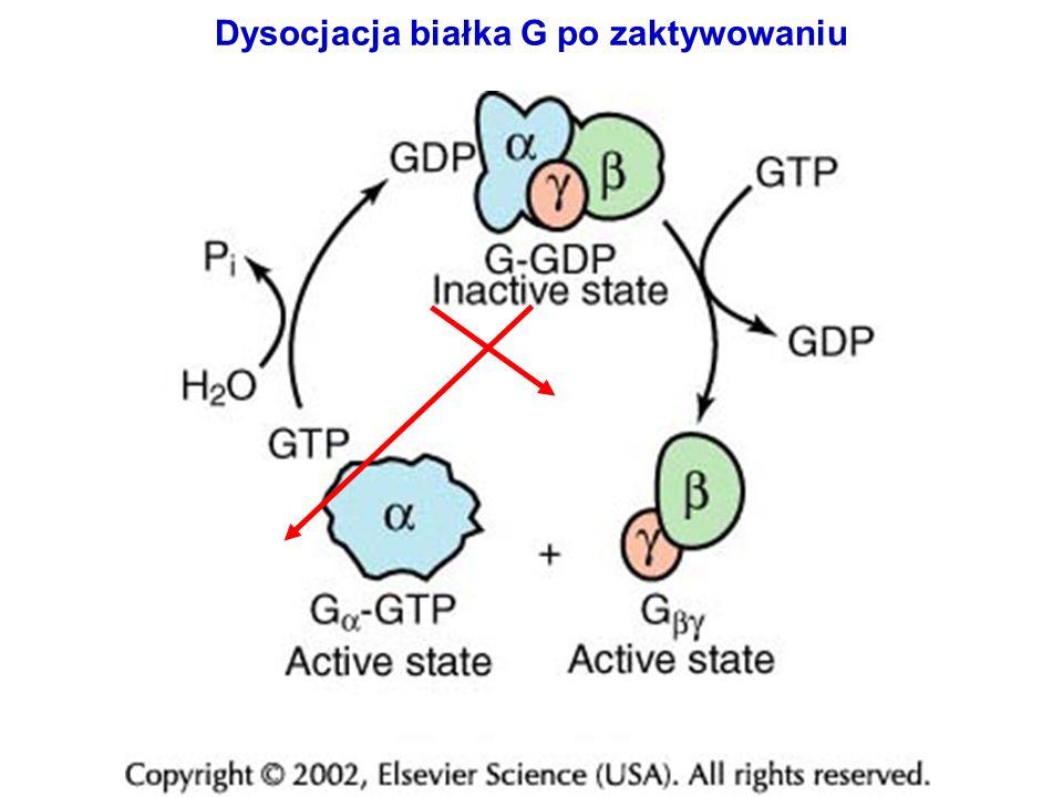 Konwersja białka G do aktywnego stanu wiązania GTP podmiana GDP w GTP AutoGTPazowa hydroliza GTP Stopień aktywności GTPazowej decyduje o charakterze danego typu białka G