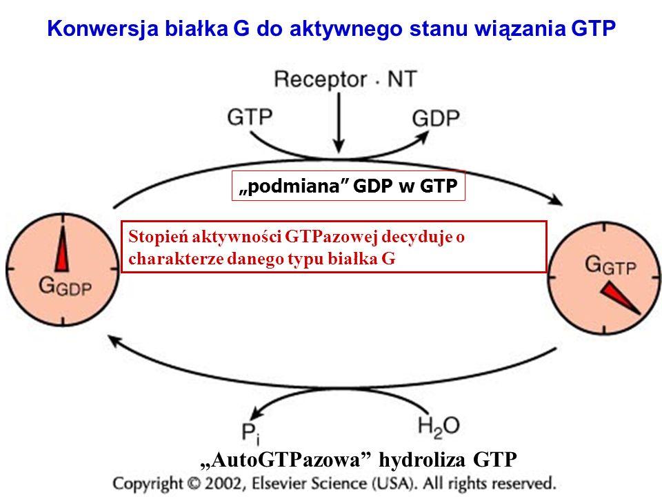 Konwersja białka G do aktywnego stanu wiązania GTP podmiana GDP w GTP AutoGTPazowa hydroliza GTP Stopień aktywności GTPazowej decyduje o charakterze d