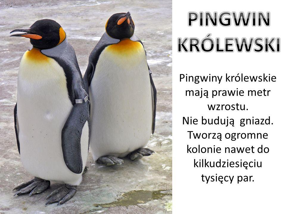 Pingwiny królewskie mają prawie metr wzrostu. Nie budują gniazd. Tworzą ogromne kolonie nawet do kilkudziesięciu tysięcy par.