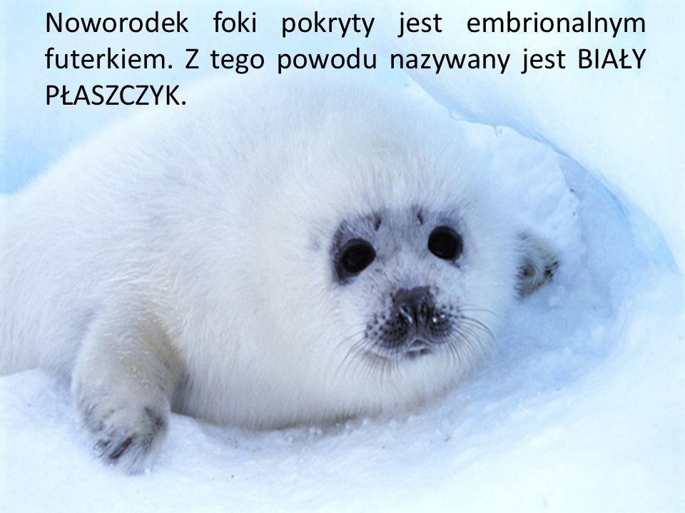 Noworodek foki pokryty jest embrionalnym futerkiem. Z tego powodu nazywany jest BIAŁY PŁASZCZYK.