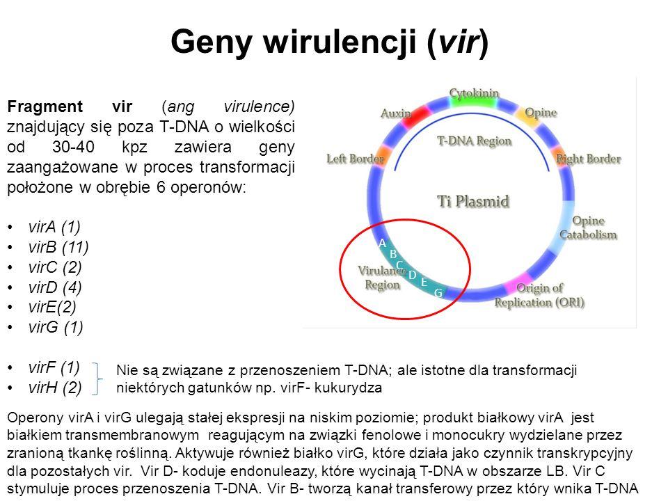 Geny wirulencji (vir) Fragment vir (ang virulence) znajdujący się poza T-DNA o wielkości od 30-40 kpz zawiera geny zaangażowane w proces transformacji