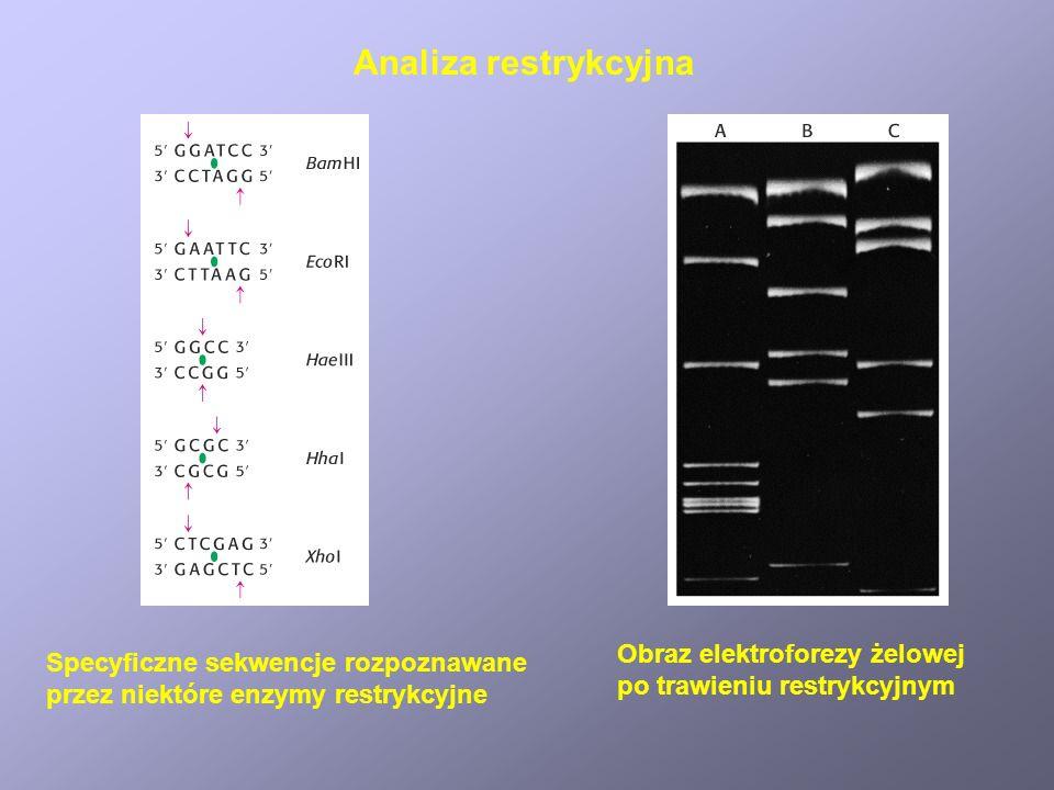 Specyficzne sekwencje rozpoznawane przez niektóre enzymy restrykcyjne Obraz elektroforezy żelowej po trawieniu restrykcyjnym Analiza restrykcyjna