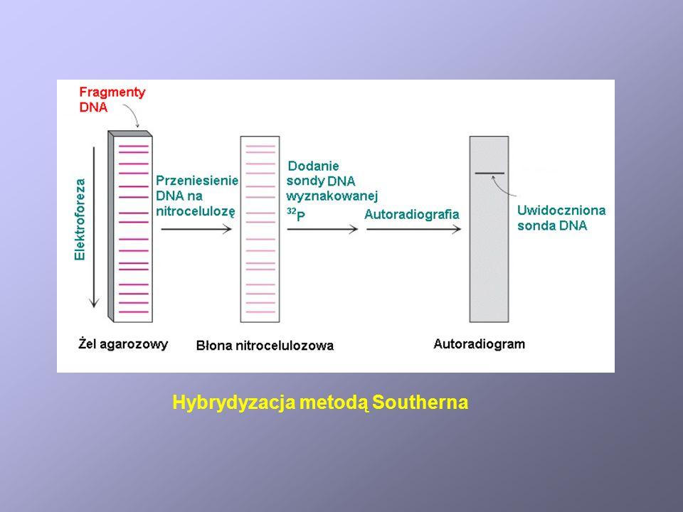 Zasada działania strzelby biolistycznej Wprowadzanie DNA do komórek