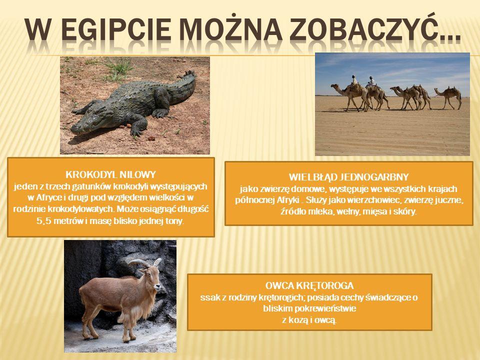 OWCA KRĘTOROGA ssak z rodziny krętorogich; posiada cechy świadczące o bliskim pokrewieństwie z kozą i owcą. WIELBŁĄD JEDNOGARBNY jako zwierzę domowe,