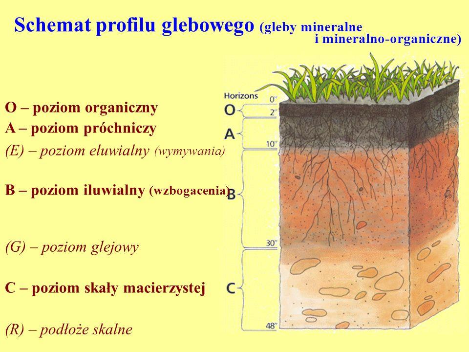 Schemat profilu glebowego (gleby mineralne i mineralno-organiczne) O – poziom organiczny A – poziom próchniczy (E) – poziom eluwialny (wymywania) B –