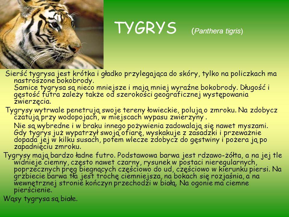 TYGRYS ( Panthera tigris) Sierść tygrysa jest krótka i gładko przylegająca do skóry, tylko na policzkach ma nastroszone bokobrody. Samice tygrysa są n