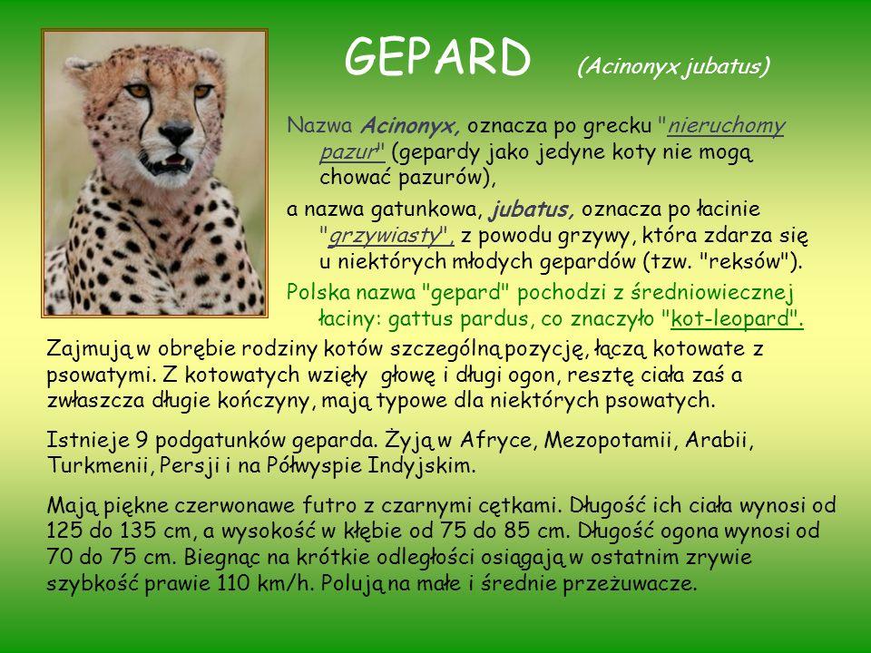 GEPARD (Acinonyx jubatus) Nazwa Acinonyx, oznacza po grecku