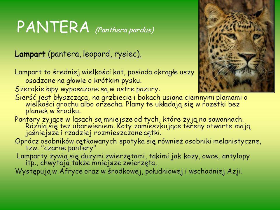 PANTERA (Panthera pardus) Lampart (pantera, leopard, rysiec). Lampart to średniej wielkości kot, posiada okrągłe uszy osadzone na głowie o krótkim pys