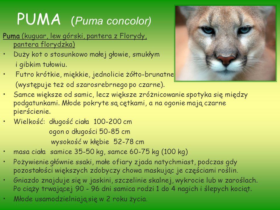 PUMA ( Puma concolor) Puma (kuguar, lew górski, pantera z Florydy, pantera florydzka) Duży kot o stosunkowo małej głowie, smukłym i gibkim tułowiu. Fu