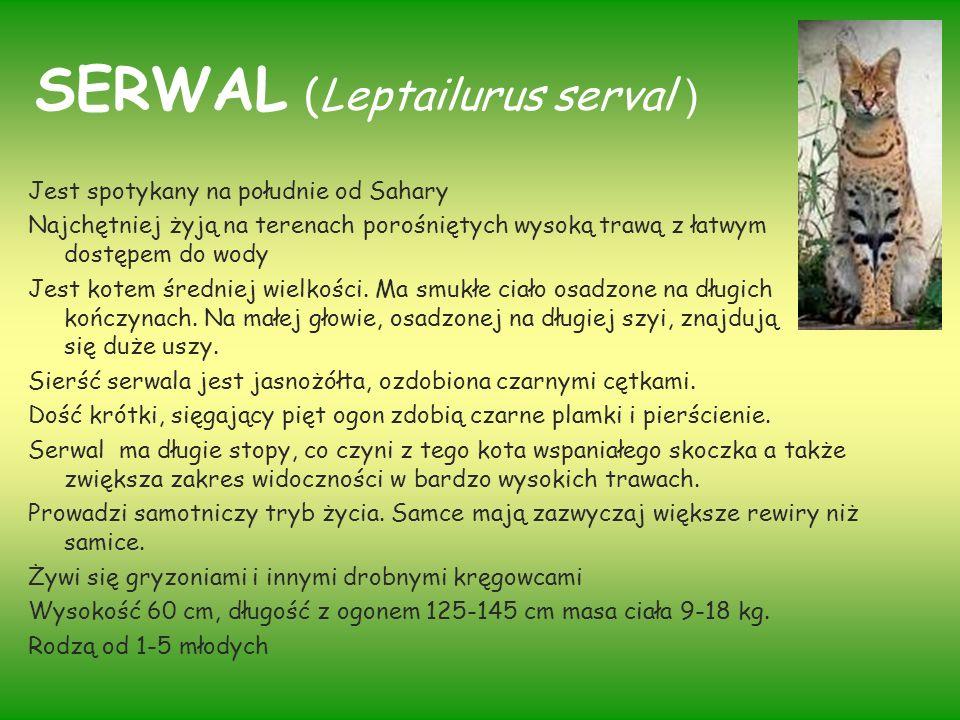 SERWAL (Leptailurus serval ) Jest spotykany na południe od Sahary Najchętniej żyją na terenach porośniętych wysoką trawą z łatwym dostępem do wody Jes