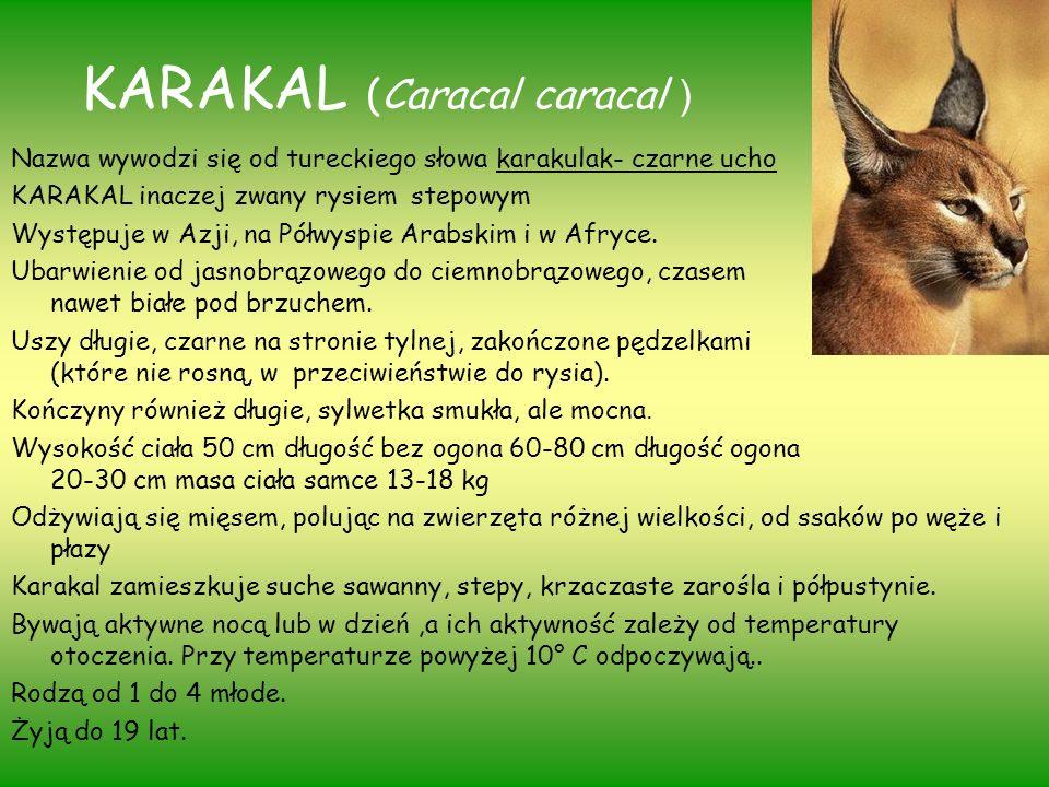 KARAKAL (Caracal caracal ) Nazwa wywodzi się od tureckiego słowa karakulak- czarne ucho KARAKAL inaczej zwany rysiem stepowym Występuje w Azji, na Pół