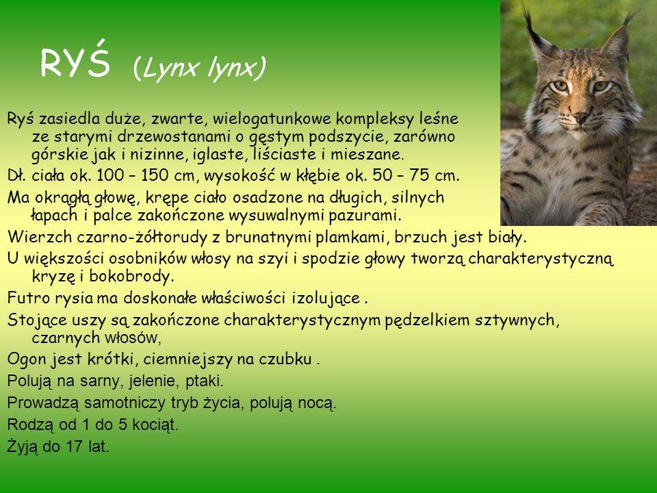 RYŚ (Lynx lynx) Ryś zasiedla duże, zwarte, wielogatunkowe kompleksy leśne ze starymi drzewostanami o gęstym podszycie, zarówno górskie jak i nizinne,