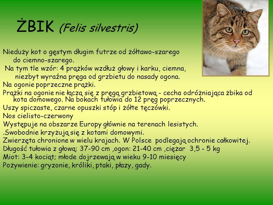 ŻBIK (Felis silvestris) Nieduży kot o gęstym długim futrze od żółtawo-szarego do ciemno-szarego. Na tym tle wzór: 4 prążków wzdłuż głowy i karku, ciem