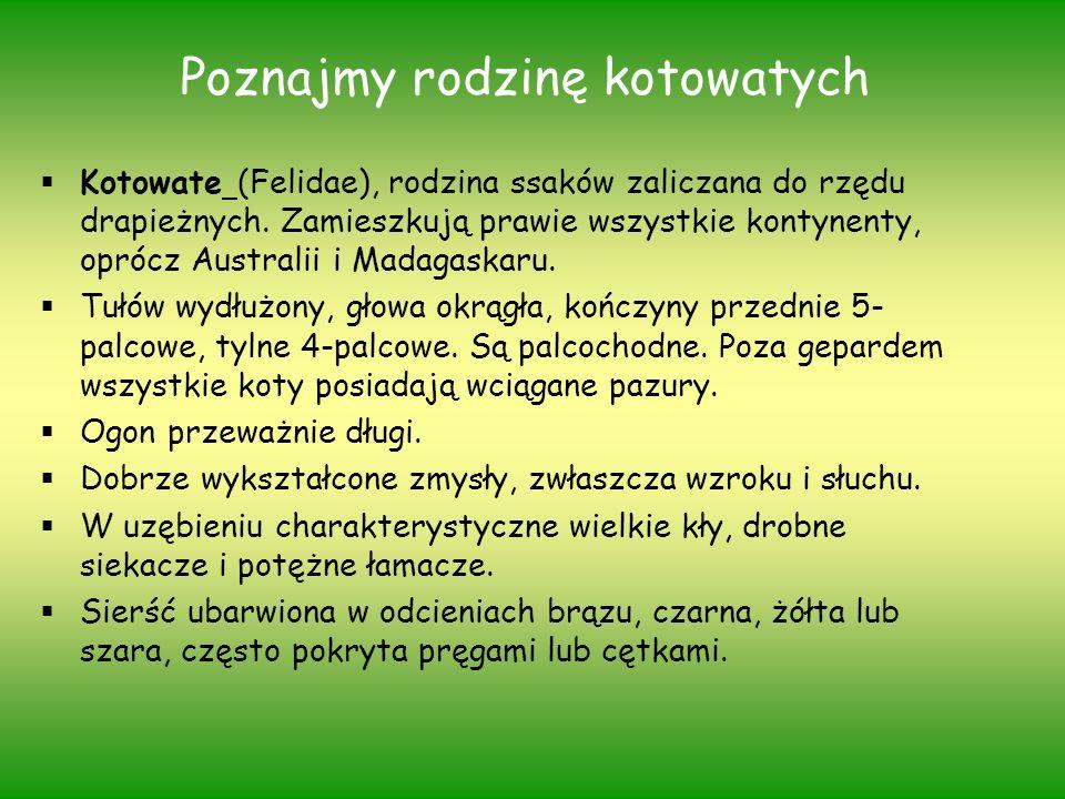 Poznajmy rodzinę kotowatych Kotowate (Felidae), rodzina ssaków zaliczana do rzędu drapieżnych. Zamieszkują prawie wszystkie kontynenty, oprócz Austral