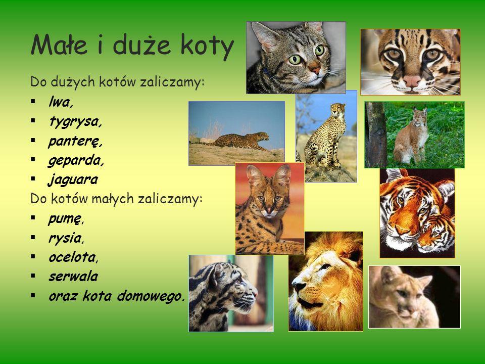 Małe i duże koty Do dużych kotów zaliczamy: lwa, tygrysa, panterę, geparda, jaguara Do kotów małych zaliczamy: pumę, rysia, ocelota, serwala oraz kota