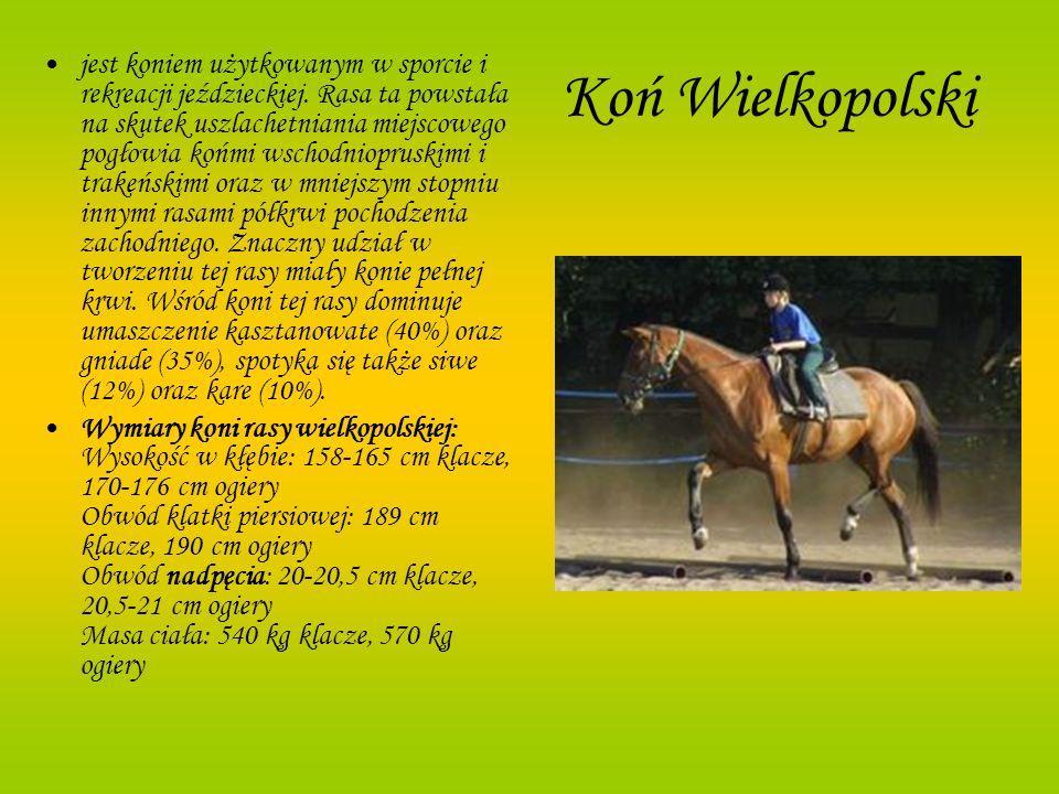 Koń Wielkopolski jest koniem użytkowanym w sporcie i rekreacji jeździeckiej. Rasa ta powstała na skutek uszlachetniania miejscowego pogłowia końmi wsc