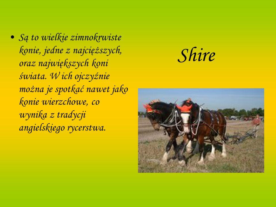 Shire Są to wielkie zimnokrwiste konie, jedne z najcięższych, oraz największych koni świata. W ich ojczyźnie można je spotkać nawet jako konie wierzch