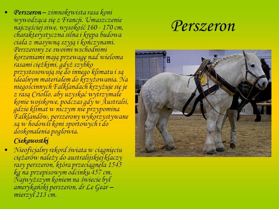 Perszeron Perszeron – zimnokrwista rasa koni wywodząca się z Francji. Umaszczenie najczęściej siwe, wysokość 160 - 170 cm, charakterystyczna silna i k
