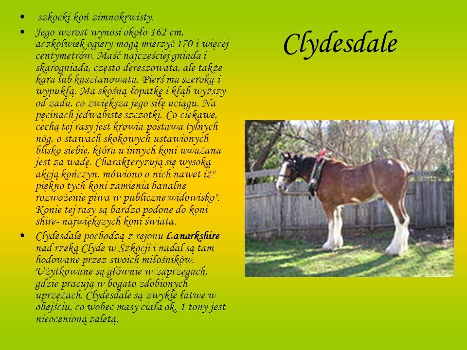 Clydesdale szkocki koń zimnokrwisty. Jego wzrost wynosi około 162 cm, aczkolwiek ogiery mogą mierzyć 170 i więcej centymetrów. Maść najczęściej gniada