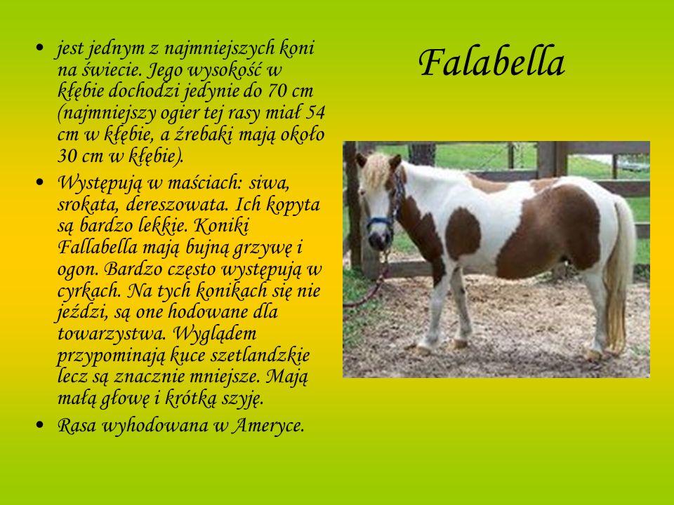Falabella jest jednym z najmniejszych koni na świecie. Jego wysokość w kłębie dochodzi jedynie do 70 cm (najmniejszy ogier tej rasy miał 54 cm w kłębi